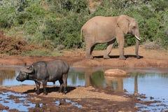 De Afrikaanse Wilde Scène van het Leven Royalty-vrije Stock Foto's