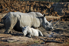 De Afrikaanse Witte Moeder en de Baby van de Rinoceros Stock Foto's