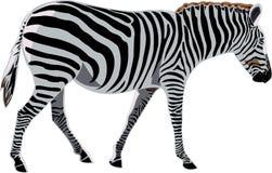 De Afrikaanse Zebra van de reeks van Dieren Stock Afbeeldingen