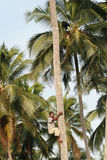 De Afrikaanse zwarte mens beklimt palm. Stock Afbeeldingen