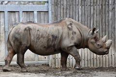 De Afrikaanse Zwarte Rinoceros van het oosten Royalty-vrije Stock Foto's