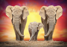 De afrikanska elefanterna Arkivbild