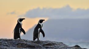 De afrikanska pingvinen i aftonskymning med solnedgånghimmel Royaltyfri Fotografi