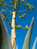De agaveinstallatie breidt zich skyward uit Royalty-vrije Stock Afbeeldingen