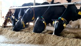 De agendakoeien van Holstein Frisian in vrije veebox stock video