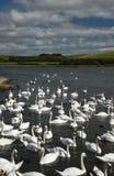 12 de agosto de 2017, Abottsbury, Dorset, o Reino Unido O alimento é às cisnes mudas no swannery o maior no mundo fotos de stock
