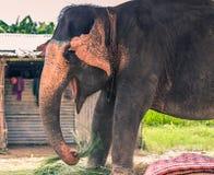 27 de agosto de 2014 - elefante doméstico em Sauraha, Nepal Imagem de Stock