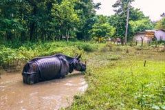 27 de agosto de 2014 - rinoceronte indiano que banha-se no parque nacional de Chitwan, Fotografia de Stock Royalty Free