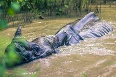 27 de agosto de 2014 - rinoceronte indiano que banha-se no parque nacional de Chitwan, Fotos de Stock