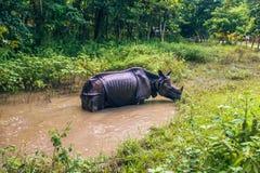 27 de agosto de 2014 - rinoceronte indiano que banha-se no parque nacional de Chitwan, Imagens de Stock Royalty Free
