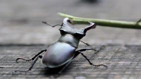 De Agressieve aanval van de mannetjeskever op een tak stock videobeelden