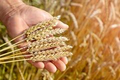 De agronoom op het tarwegebied houdt de rijpe tarwe van het tarwebrood in zijn handen Het concept de landbouw stock foto