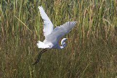 De aigrette stock foto