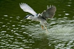 De aigrette die op de rivier met de rimpelingen op donkergroene achtergrond vliegen stock foto