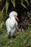 De Aigrette van het vee (ibis Bubulcus) Stock Afbeeldingen