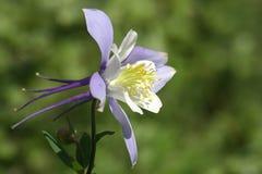 De Akelei van Colorado (aquilegiacaerulea) stock foto