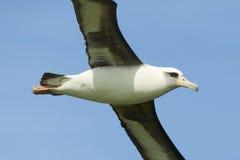 De Albatros van Laysan royalty-vrije stock afbeelding