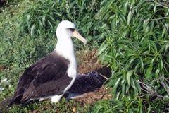 De Albatros van Laysan met kuiken in schaduw stock afbeelding