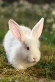 De albino van het konijn Stock Fotografie