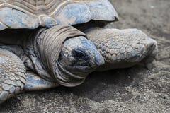 De Aldabraschildpad is bedreigd dier stock fotografie