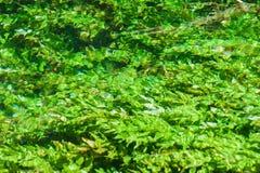 De alge van de rivier Royalty-vrije Stock Foto