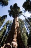 De algemene Boom van de Sequoia Sherman Royalty-vrije Stock Afbeelding