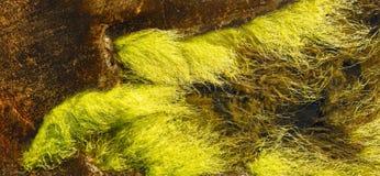 De algen van Ulvaintestinalis Royalty-vrije Stock Afbeelding