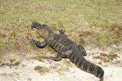 De Alligator die van Florida op Sandy Bank zonnen Stock Afbeeldingen