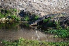 De alligator gaat water in Stock Afbeelding