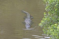 De Alligator houdt bewegend in een traag tempo aan de rand van de rivier stock afbeelding