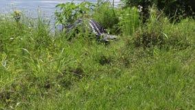 de alligator komt uit water stock videobeelden