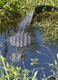 De alligator let op u Royalty-vrije Stock Foto