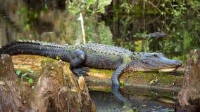 De alligator ligt op een logboek stock video