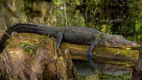 De alligator ligt op een logboek stock videobeelden