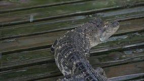 De alligator loopt langzaam stock footage