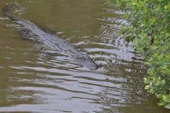 De Alligator maakt langzaam om aan de tegenovergestelde bank te zwemmen royalty-vrije stock afbeelding