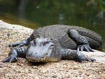 De alligator op snuffelt rond Stock Foto's