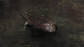 De alligator staat aan te vallen op het punt stock videobeelden