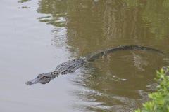 De alligator stelt alle zeven voeten van zijn lengte voor de bezoeker aan getuige voor royalty-vrije stock afbeeldingen
