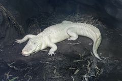 De alligator van de albino Royalty-vrije Stock Foto's