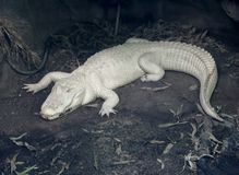 De alligator van de albino Stock Foto