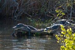 De alligator van de slaap stock foto