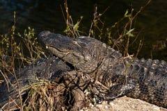 De alligator van de slaap Stock Afbeeldingen