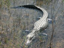 De alligator van Everglades Stock Afbeelding