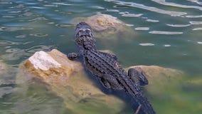 De Alligator van de haaivallei stock videobeelden