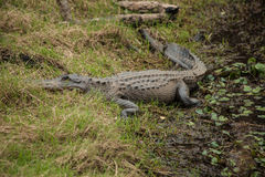 De alligator zit op Rivierbank Stock Foto