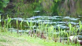 De alligator zwemt stock video