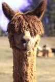 De alpaca van Courious Stock Afbeeldingen