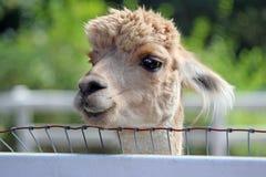 De alpaca van Courious Royalty-vrije Stock Afbeelding