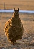De Alpaca van de lama Royalty-vrije Stock Foto's